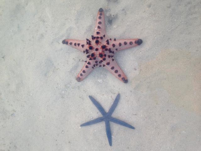 di Pulau Pari terdapat penangkaran bintang laut